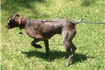 Picture of Chip German Shorthaired Pointer Female