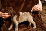 Picture of Tessa German Shorthaired Pointer Female
