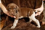 Picture of Brown German Shorthaired Pointer Male