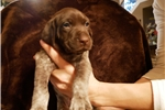 Picture of Tucker German Shorthaired Pointer Male