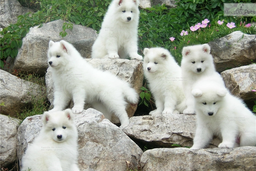 Samoyed Dogs For Sale In Illinois