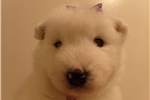 Picture of PUREBRED AKC SAMOYED 1 FEMALE PUP