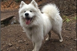 Picture of AKC Samoyed Puppy
