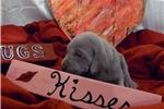 Picture of CKC Weimaraner Puppy - Garron