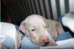 Picture of CKC Weimaraner Puppy - Hahn