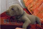 Picture of CKC Weimaraner Puppy - Audwin