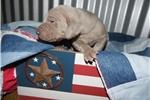 Picture of CKC Weimaraner Puppy - Burke