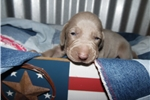 CKC Weimaraner Puppy - Burke | Puppy at 4 weeks of age for sale