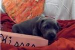 Picture of CKC Weimaraner Puppy - Ramhart
