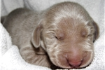 Picture of CKC Weimaraner Puppy - Rikki