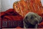Picture of CKC Weimaraner Puppy - Ellie