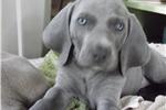Picture of CKC Weimaraner Puppy - Vilhelm Ready TODAY!