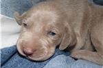Picture of CKC Weimaraner Puppy - Peppi