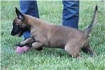 Picture of Female puppy from Belgium import parents