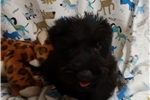 Picture of AKC LILLY