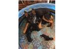 Picture of Male Smoking Gun Ranch German Shepherd Puppy