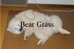 Picture of Tiffany's UKC American Eskimo Teddy Bears