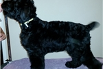 Picture of Black Russian Terrier puppy