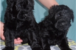 Black Russian Terrier for sale