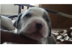 Picture of Blue Litter Whelped January 4 2016