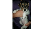 Ela | Puppy at 9 weeks of age for sale