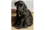 Picture of Healthy and Energetic Cane Corso Puppy for Sale
