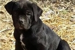 Picture of Healthy and Energetic Cane Corso for Sale