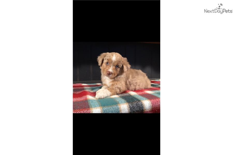 Miniature Australian Shepherd puppy for sale near Oklahoma ...