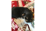 Picture of Norfolk Terrier puppies registered 509-671-7273