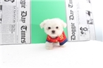 Picture of Tiny teacup maltese puppy ready