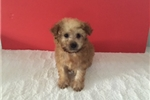 Malti Poo Maltipoos for sale