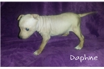Picture of American Hairless Terrier Puppy For Sale!