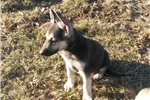 Picture of Gorgeous German Shepherd Puppy (Health Guarantee)