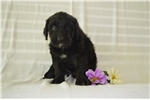 Picture of Rena Bernedoodle puppy