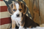 Picture of REGISTERED MALE - BRADY ***www.puppys-r-us.com