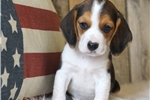 Picture of REGISTERED MALE - ANDY ***www.puppys-r-us.com