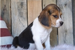 Picture of REGISTERED MALE - COOP ***www.puppys-r-us.com
