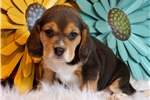 Picture of **REGISTERED MALE BEAGLE** CHARLIE