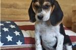 Picture of REGISTERED FEMALE - ADDI ***www.puppys-r-us.com