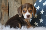 Picture of REGISTERED MALE - HUDSON ***www.puppys-r-us.com
