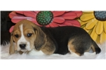 Picture of **REGISTERED MALE BEAGLE** MILO