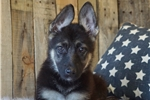 Picture of AKC FEMALE - NALA  *www.puppys-r-us.com*