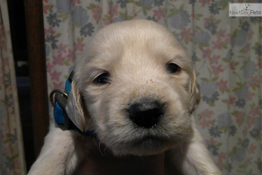 Blue Goldendoodle Puppy For Sale Near Richmond Virginia F0411cc4 3071
