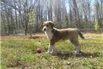 Picture of Rescue Collie Needs a Loving Family!