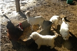 Picture of Upcoming LITTER- Livestock Trained Great Pyreneese