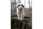 Picture of Registered Great Pyreneese Female Livestock Guard