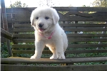 Picture of CKC Registered Great Pyrenees Female  Microchipped