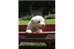 Picture of CKC Registered Great Pyrenees MALE Microchipped