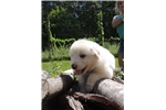 Picture of CKC Registered Great Pyrenees Puppies Microchipped