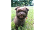 Picture of Chocolate Bear- non-shedding hypoallergenic cutie!